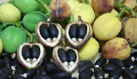 Buy high yield Jatropha Curcas seeds