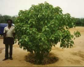 Jatropha Tree in Zimbabwe
