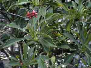 Jatropha, a crop grown for biodiesel