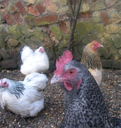 Artificial poultry lighting on a timer